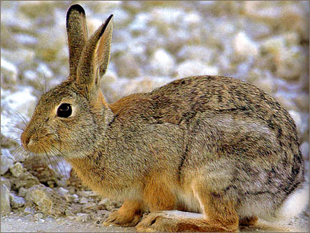 external image cottontail_II.jpg