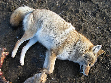 Coyote from carcass